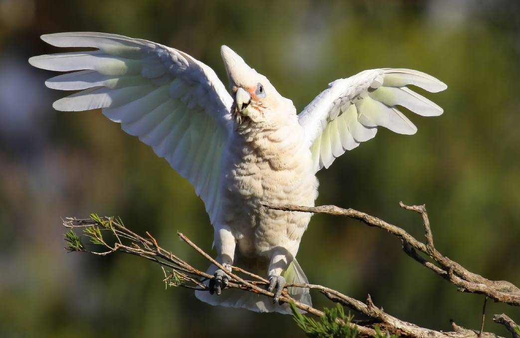 NO ACCIDENT: The killing of up to 100 corellas at Robinvale was most likely deliberate, after authorities rule out the suggestion of possible spray drift.